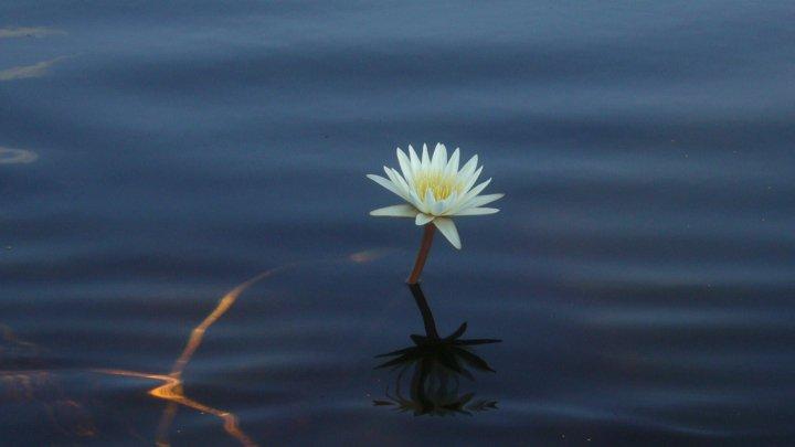 lili flower, moremi