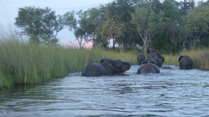 Elefantes, Chobe